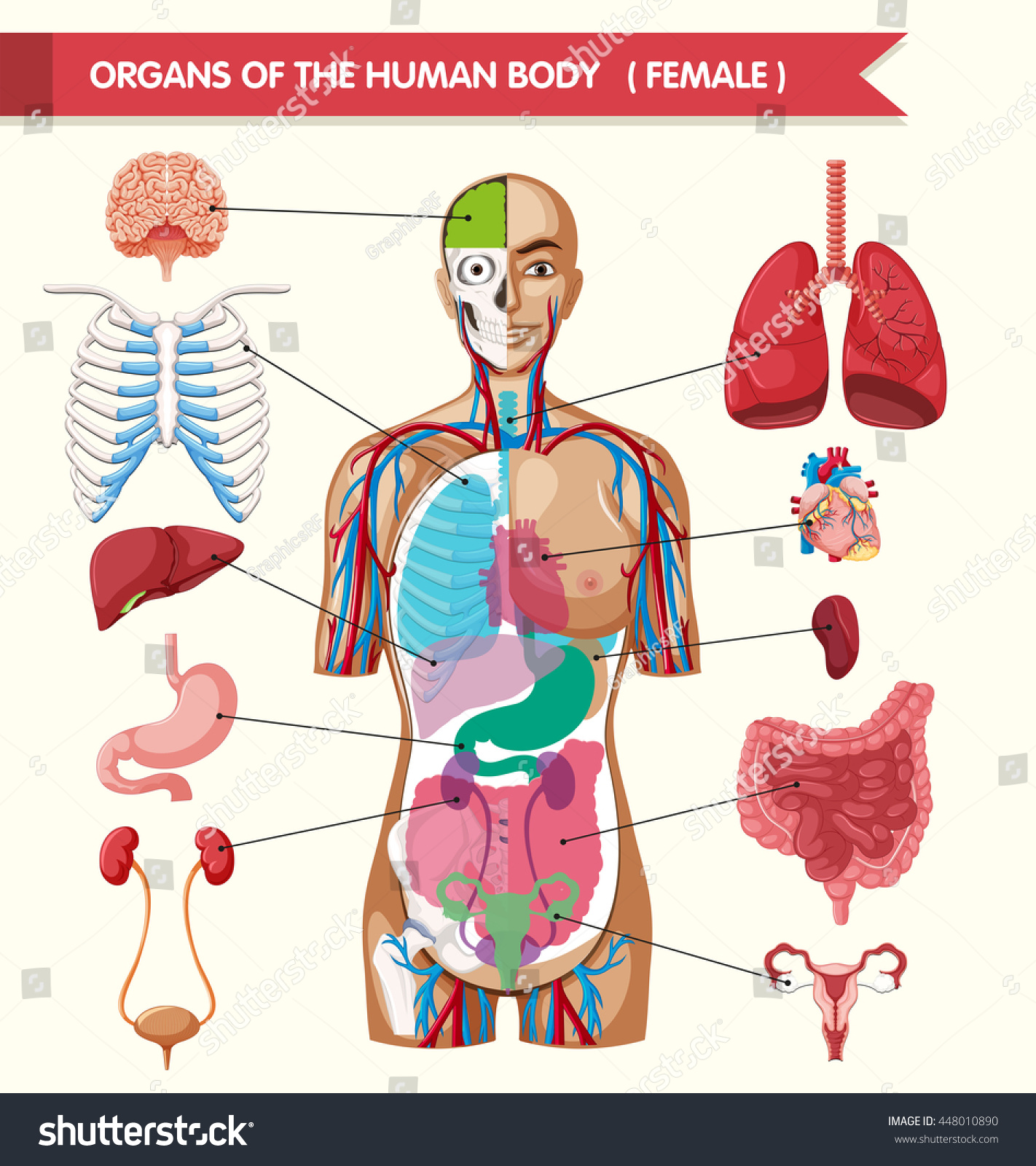 Organs Human Body Illustration Stock Vector Royalty Free 448010890