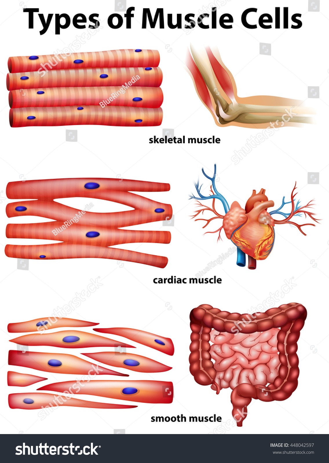 diagram showing types muscle cells illustration stock vector