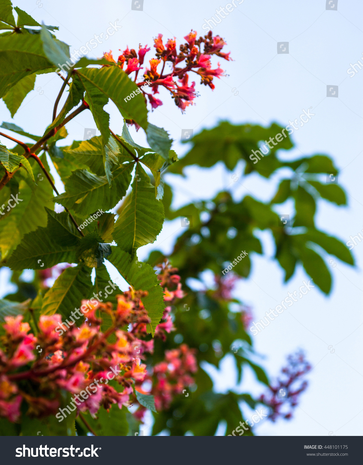 Bunches pink flowers horsechestnut tree against stock photo bunches of pink flowers of the horse chestnut tree against the blue sky mightylinksfo Gallery