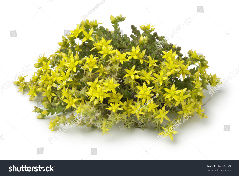 Yellow Flowering Sedum Acre On White Stock Photo Edit Now