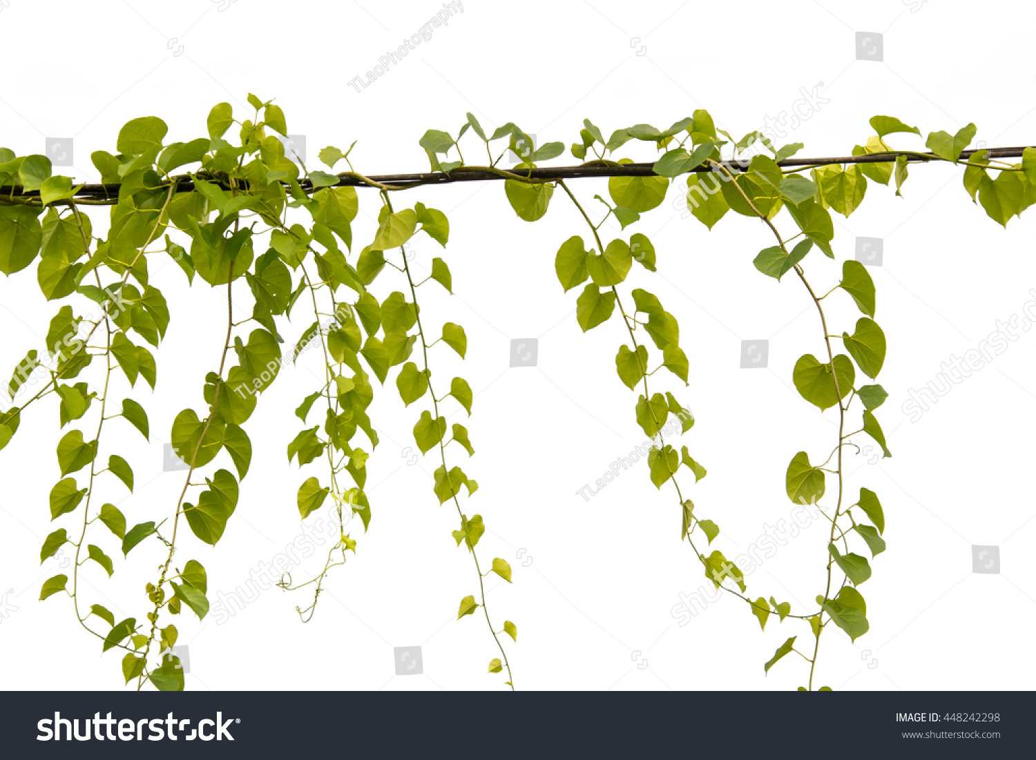 Ivy Tree Isolate White Color Background Stock Photo (Safe to Use ...