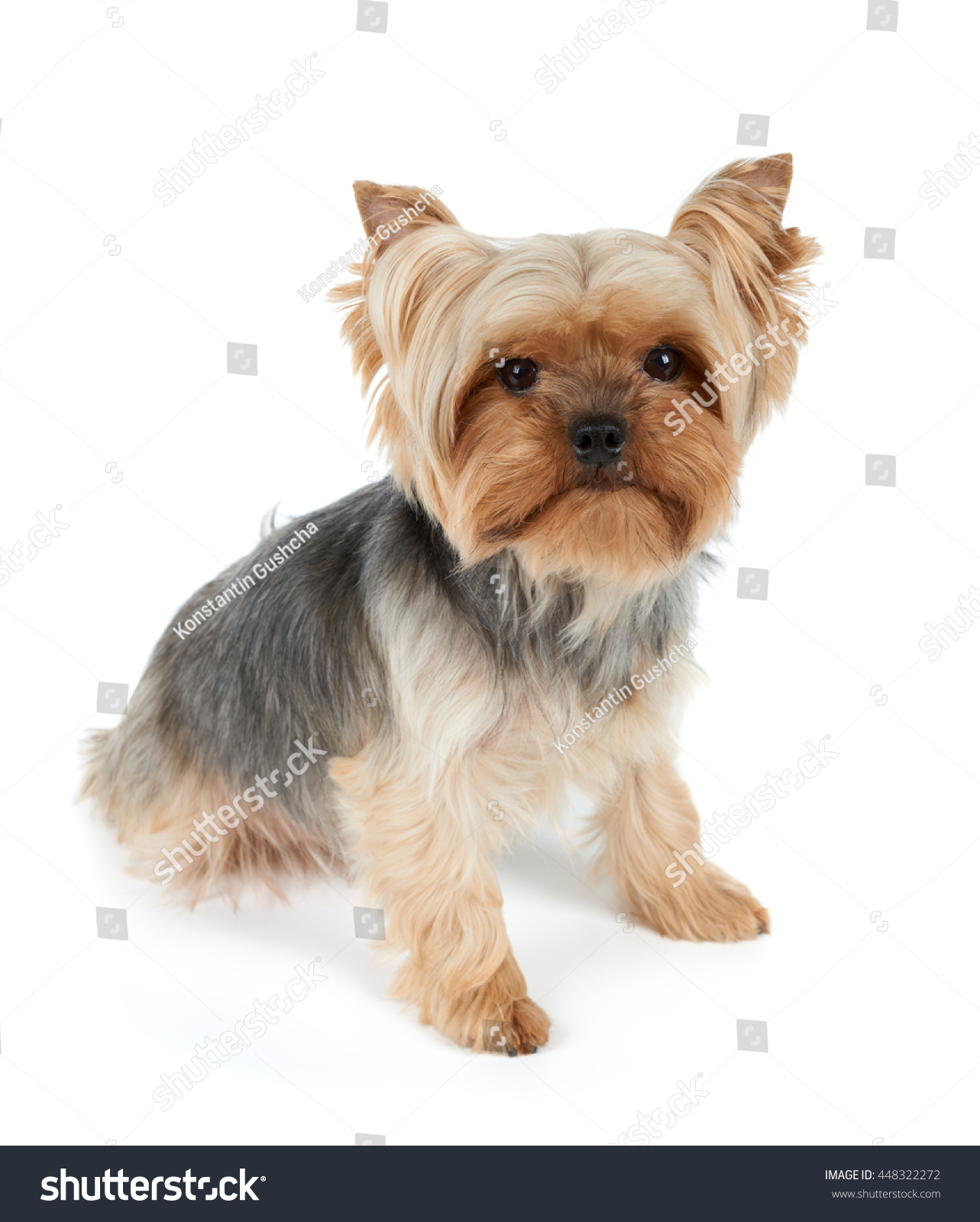 One Yorkshire Terrier Haircut Looking Camera Stock Photo Edit Now