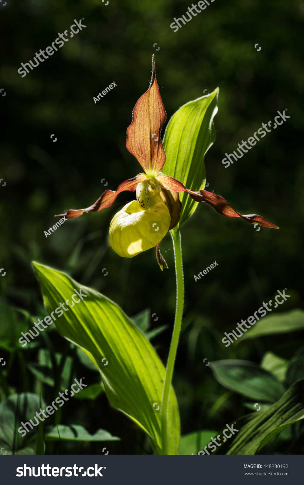 Ladys Slipper Orchid Flower Yellow With Red Petals Blooming Flower