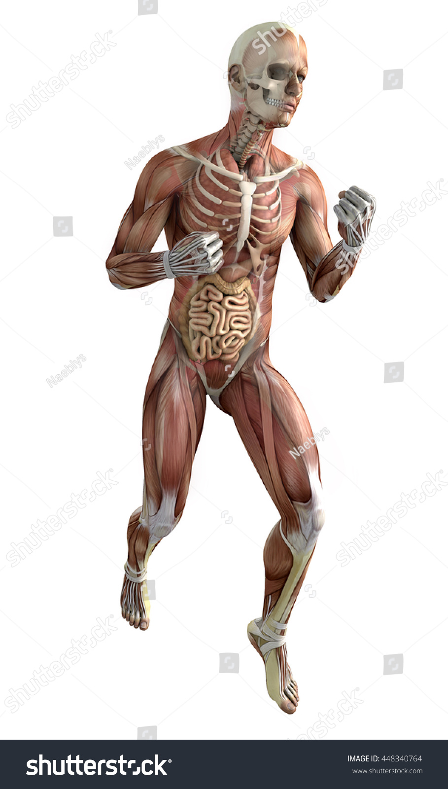 Boxer Human Body Muscular System Punches Stockillustration 448340764