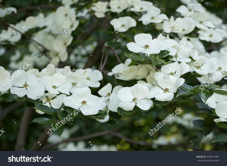 White Dogwood Flowers In Garden Ez Canvas