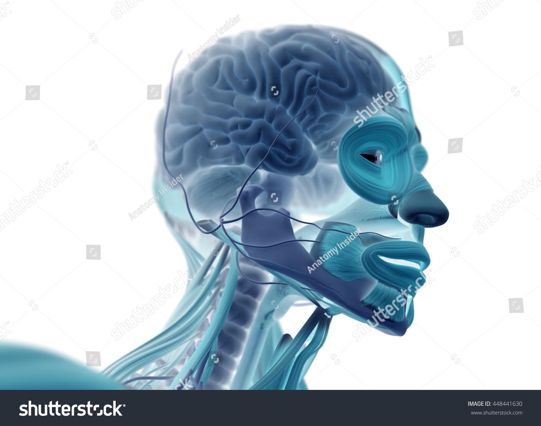 Human Anatomy Brain Skull Head Neck Stock Illustration 448441630 ...