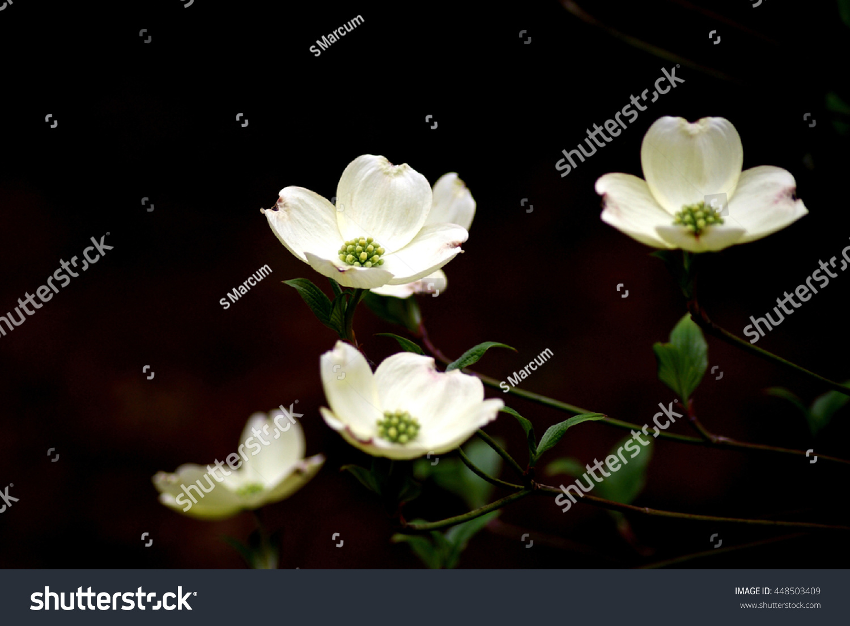 Four White Dogwood Flowers On Dark Stock Photo Edit Now 448503409