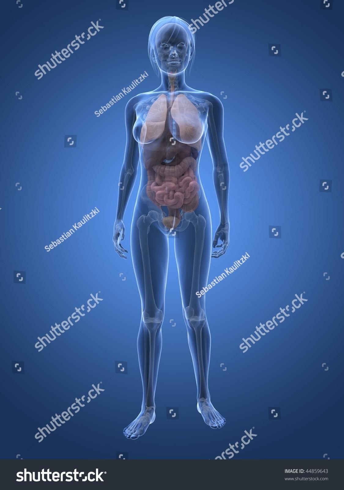 Female Anatomy Stock Illustration 44859643 - Shutterstock