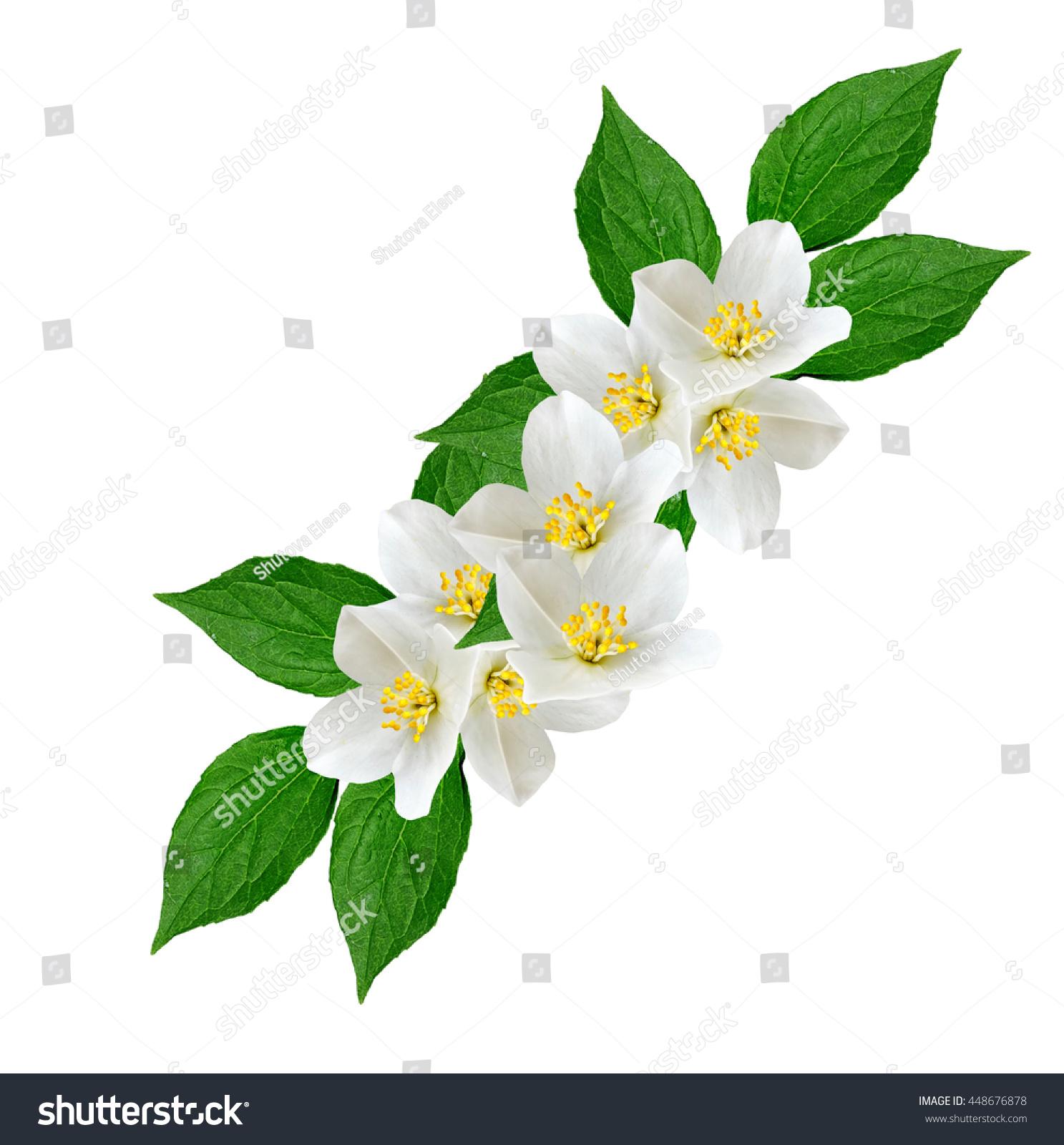 White Jasmine Flower Branch Jasmine Flowers Stock Photo Edit Now