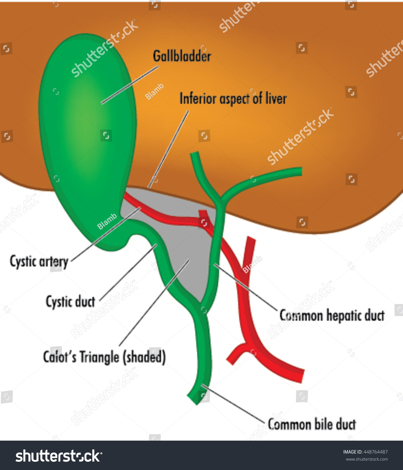 Anatomy Location Gallbladder Ducts Relation Liver Stock Vector