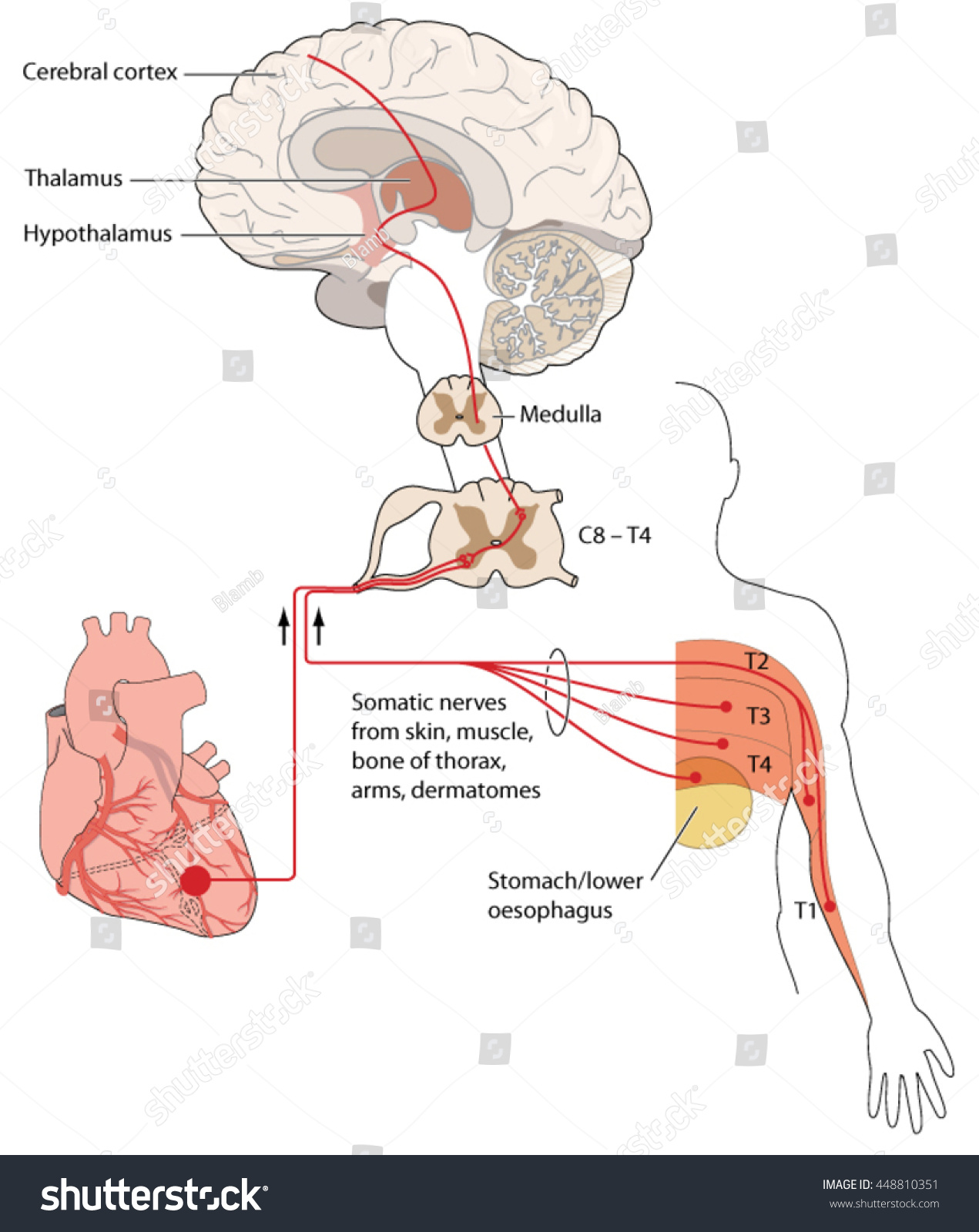 Nerve Pathways Chest Arm Compared Nerve Stock Vector Royalty Free