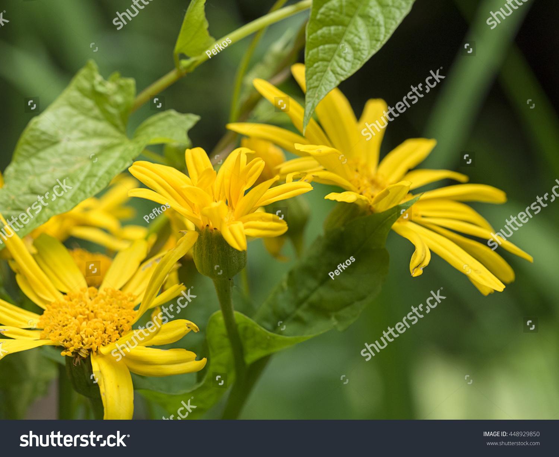 Yellow Corn Marigold Flowers Stock Photo Edit Now 448929850