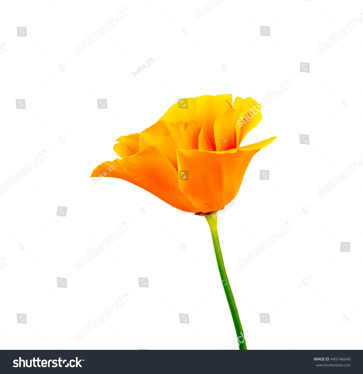 Beautiful flower poppy grows wild nature stock photo edit now the beautiful flower poppy grows in the wild nature sometimes grow up for receiving drug izmirmasajfo
