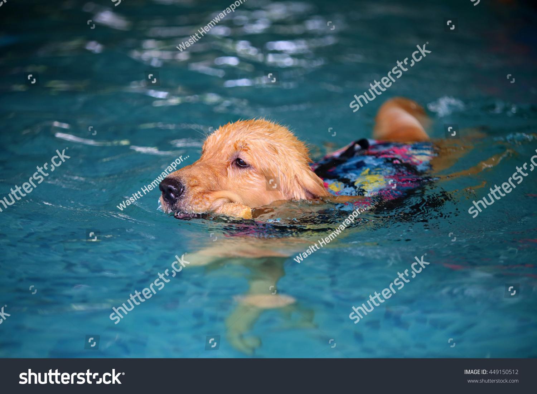 Golden Retriever Dog Wear Life Jacket Stock Photo Edit Now