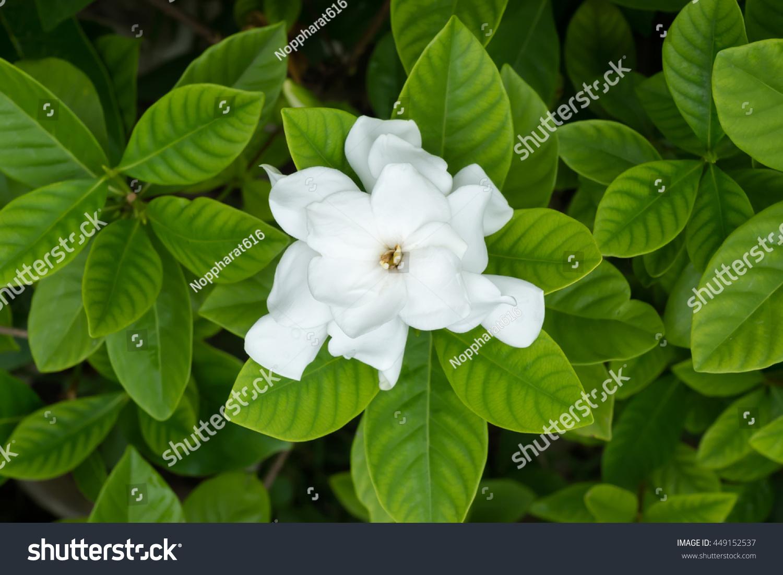 White Gardenia Flower With Green Leaves Or Cape Jasmine Tree Ez