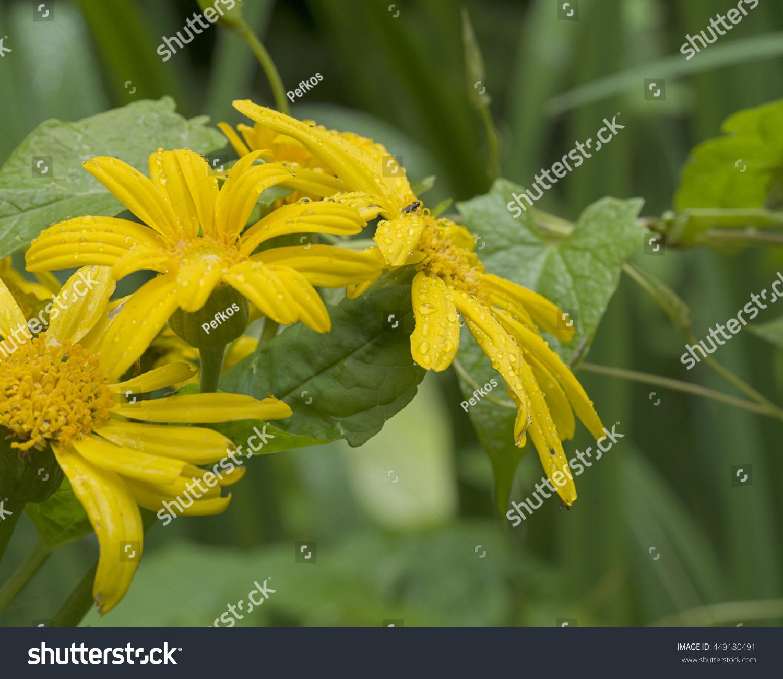 Yellow Corn Marigold Flowers Ez Canvas
