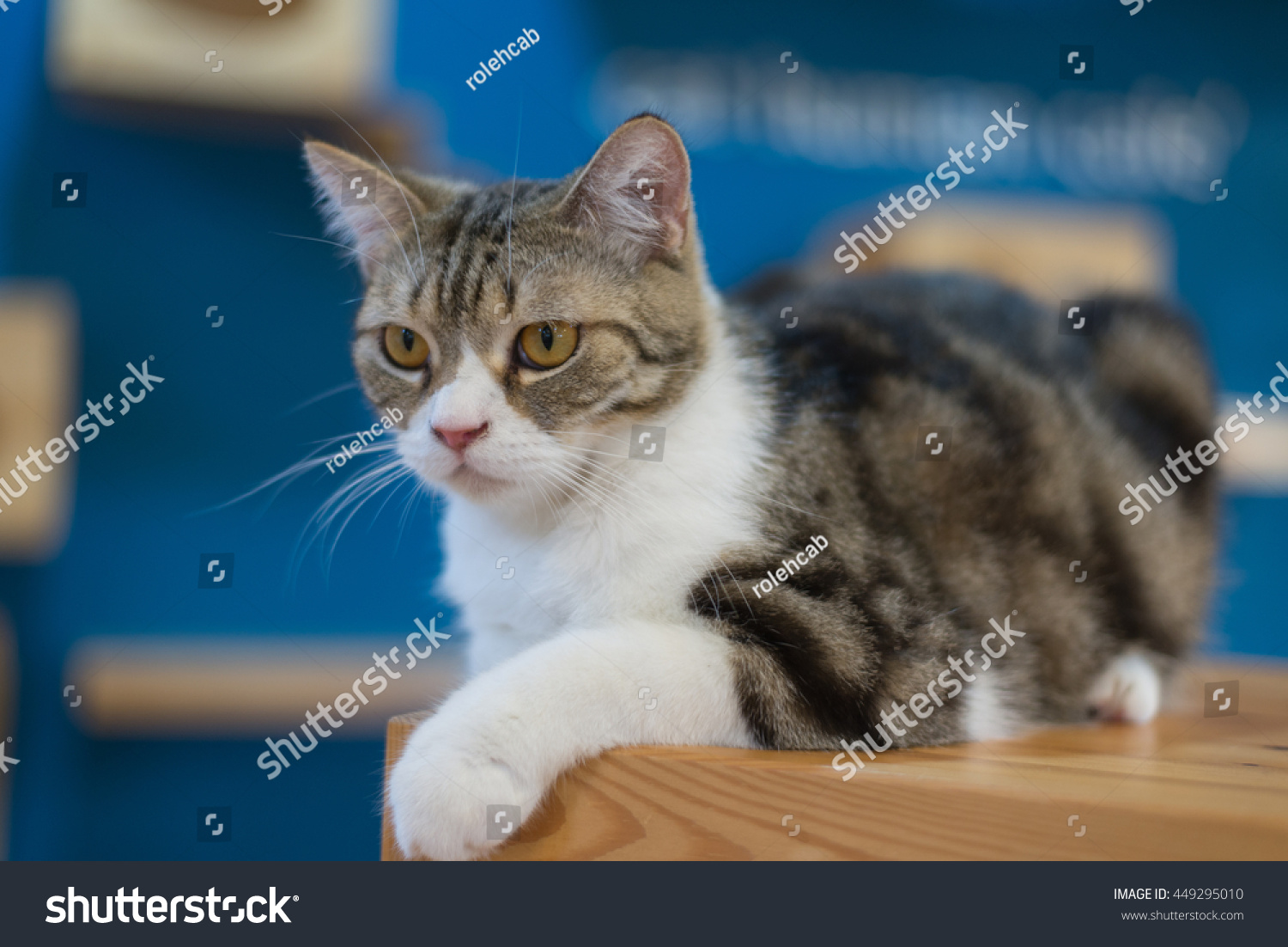 Cute Kitty Cat Table Cat Stock Shutterstock
