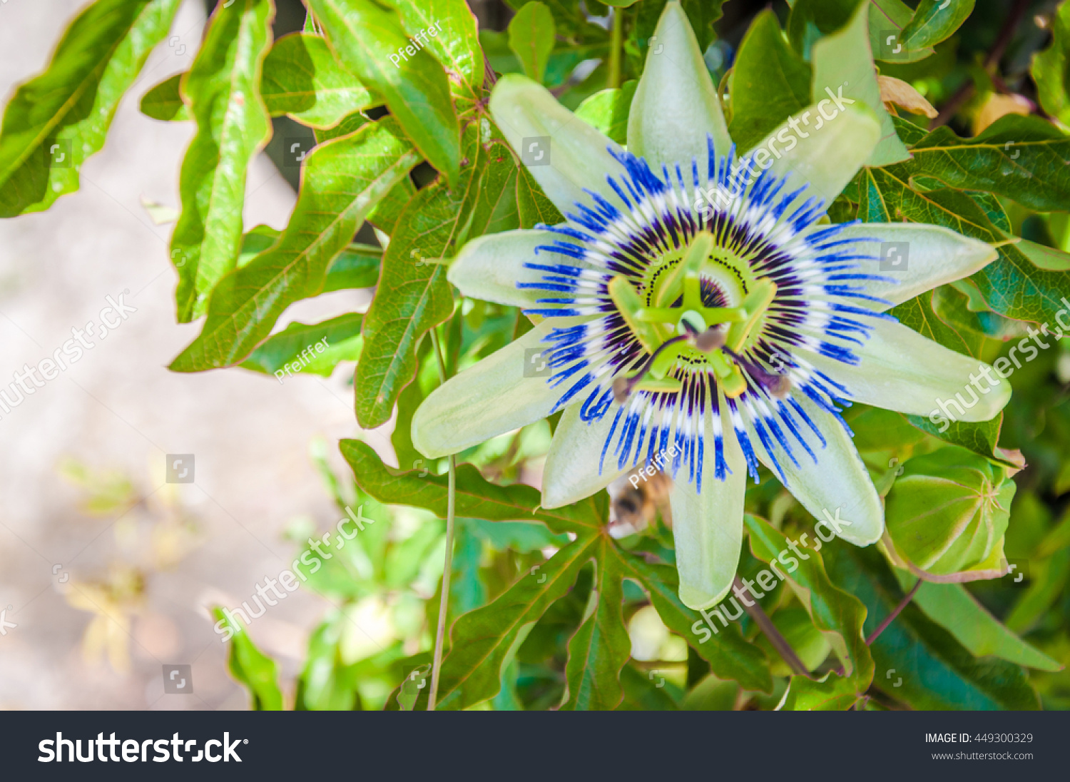 Royalty Free Blue Passion Flower Passiflora 449300329 Stock Photo