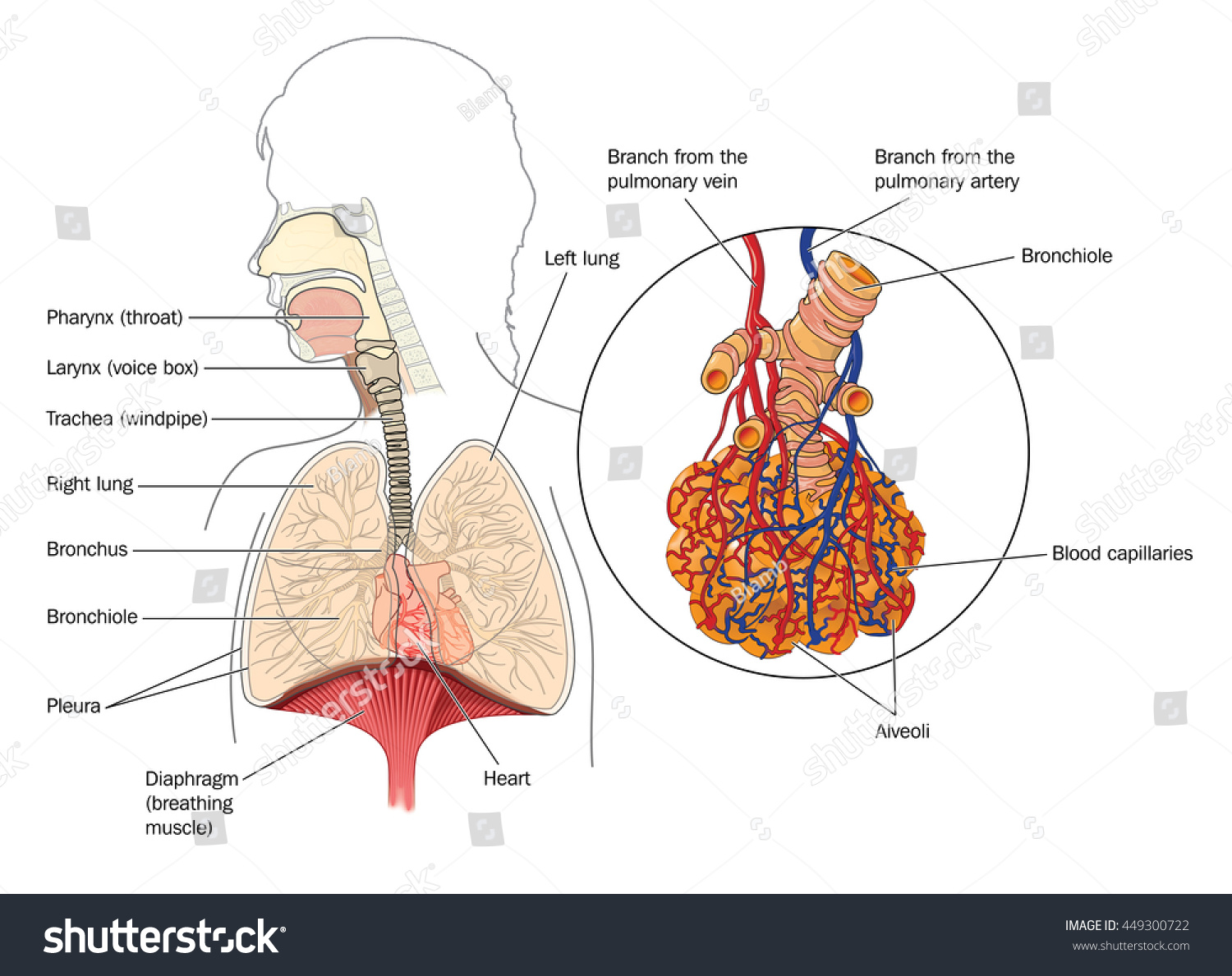 Respiratory system mouth lungs detail bronchioles em ilustrao the respiratory system from the mouth to the lungs with detail of bronchioles and alveoli with ccuart Choice Image