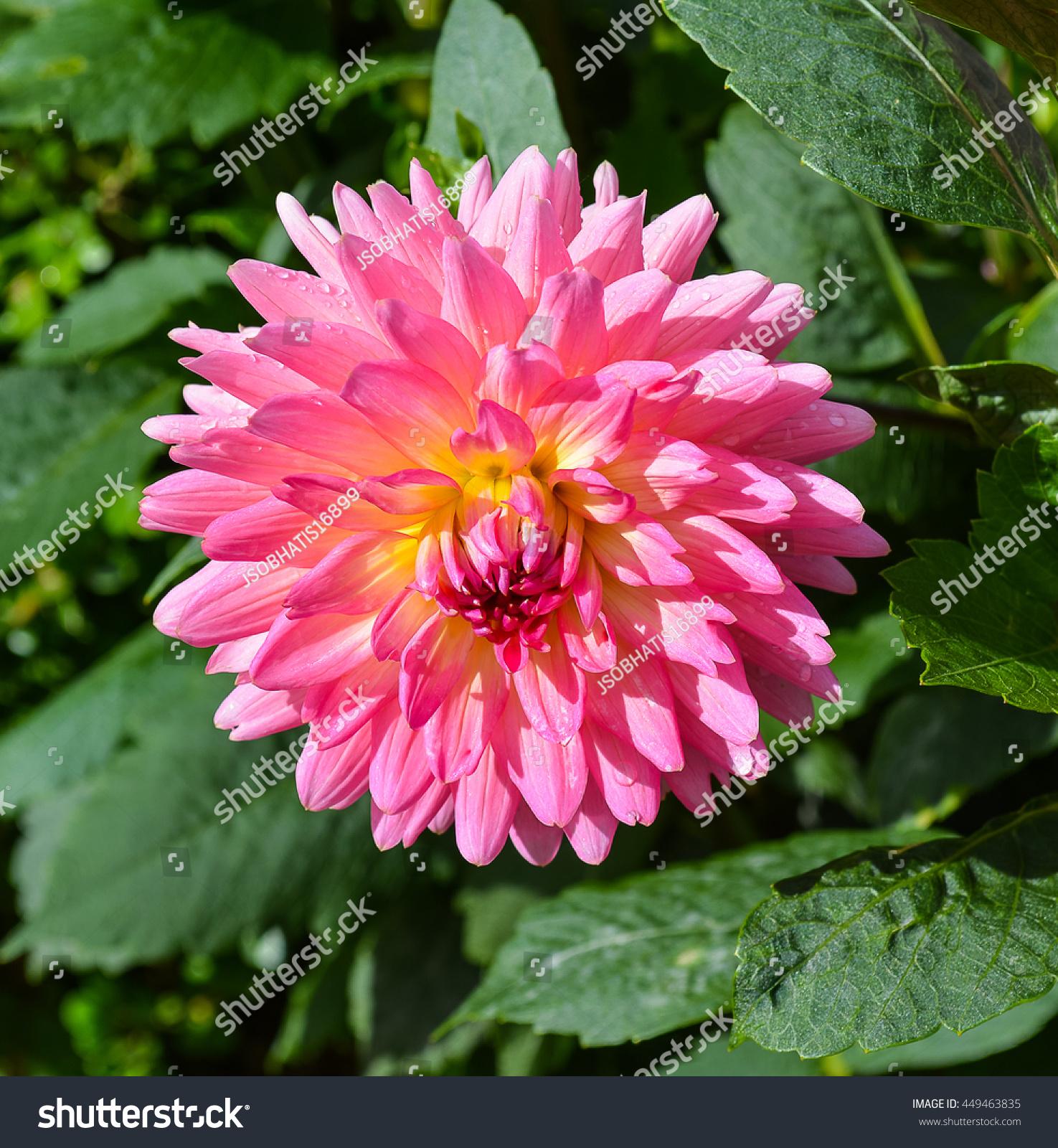 Dahlias flowers ez canvas id 449463835 izmirmasajfo
