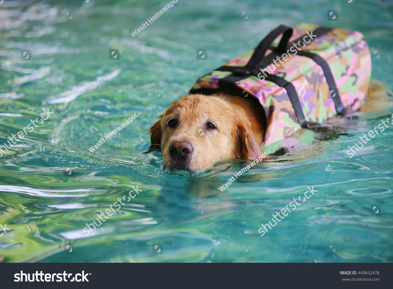 Royalty Free Golden Retriever Dog Wear Life Jacket 449652478 Stock
