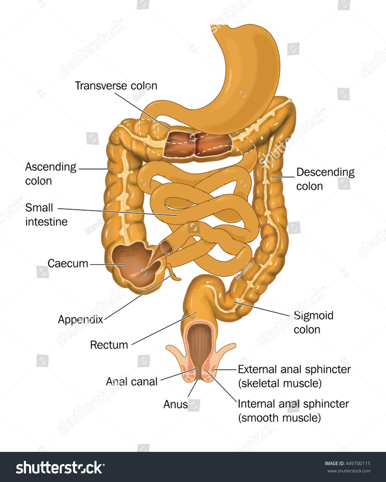 Gut Alimentary Canal Stomach Anus Showing Stock Illustration ...