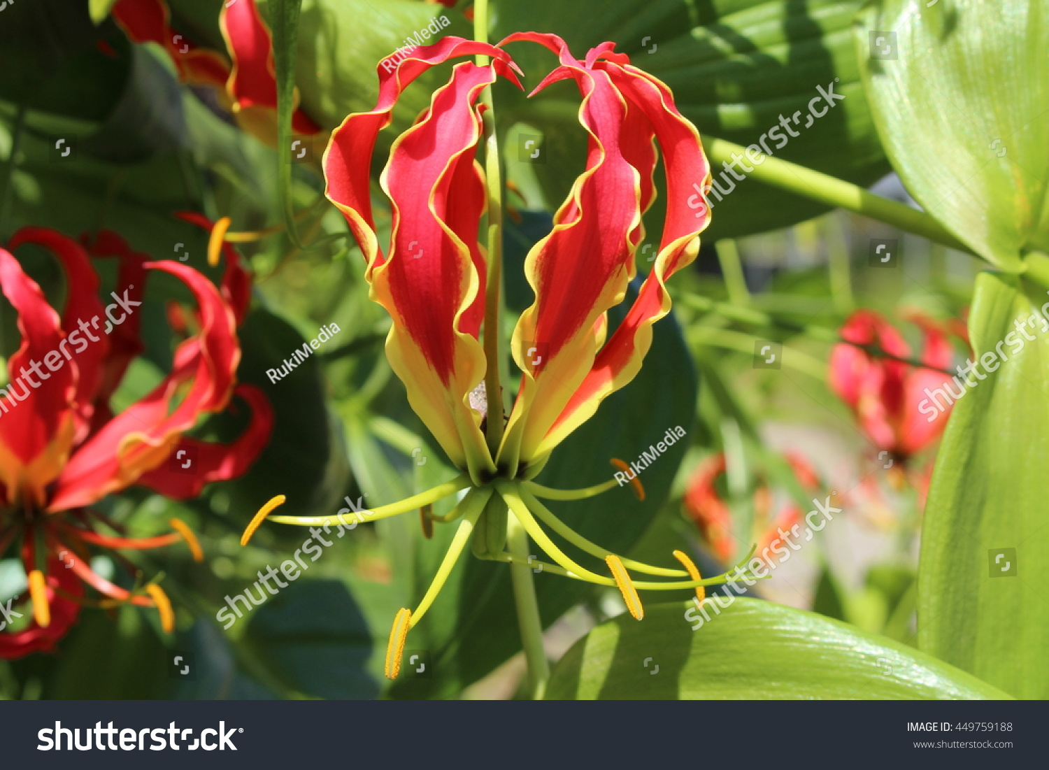 Red yellow flame lily flower or stock photo edit now 449759188 red and yellow flame lily flower or climbing lily creeping lily izmirmasajfo