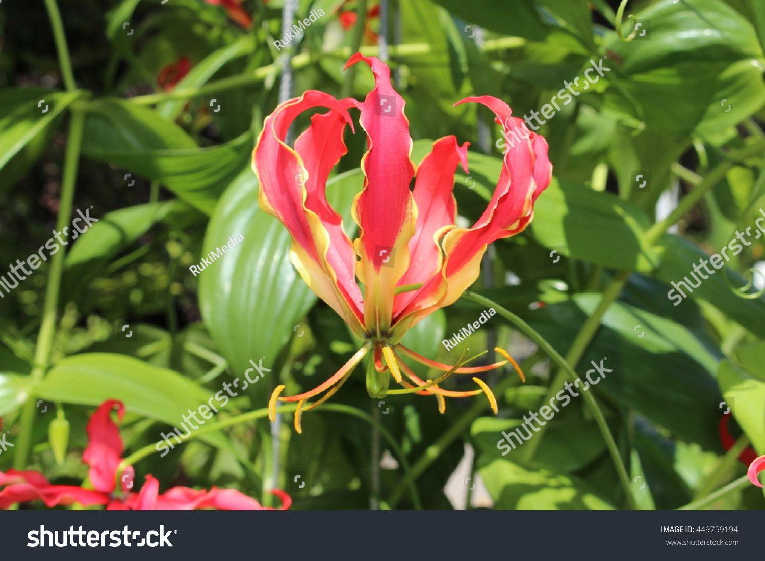 Red yellow flame lily flower or stock photo edit now 449759194 red and yellow flame lily flower or climbing lily creeping lily izmirmasajfo