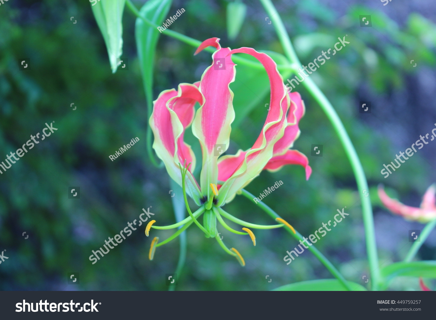 Red yellow flame lily flower or stock photo edit now 449759257 red and yellow flame lily flower or climbing lily creeping lily izmirmasajfo