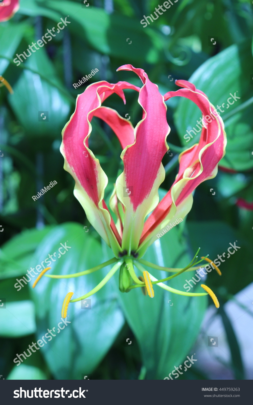 Red yellow flame lily flower or stock photo edit now 449759263 red and yellow flame lily flower or climbing lily creeping lily izmirmasajfo