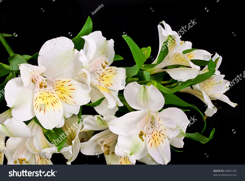 White peruvian lilies alstroemeria on black stock photo royalty white peruvian lilies alstroemeria on black background izmirmasajfo