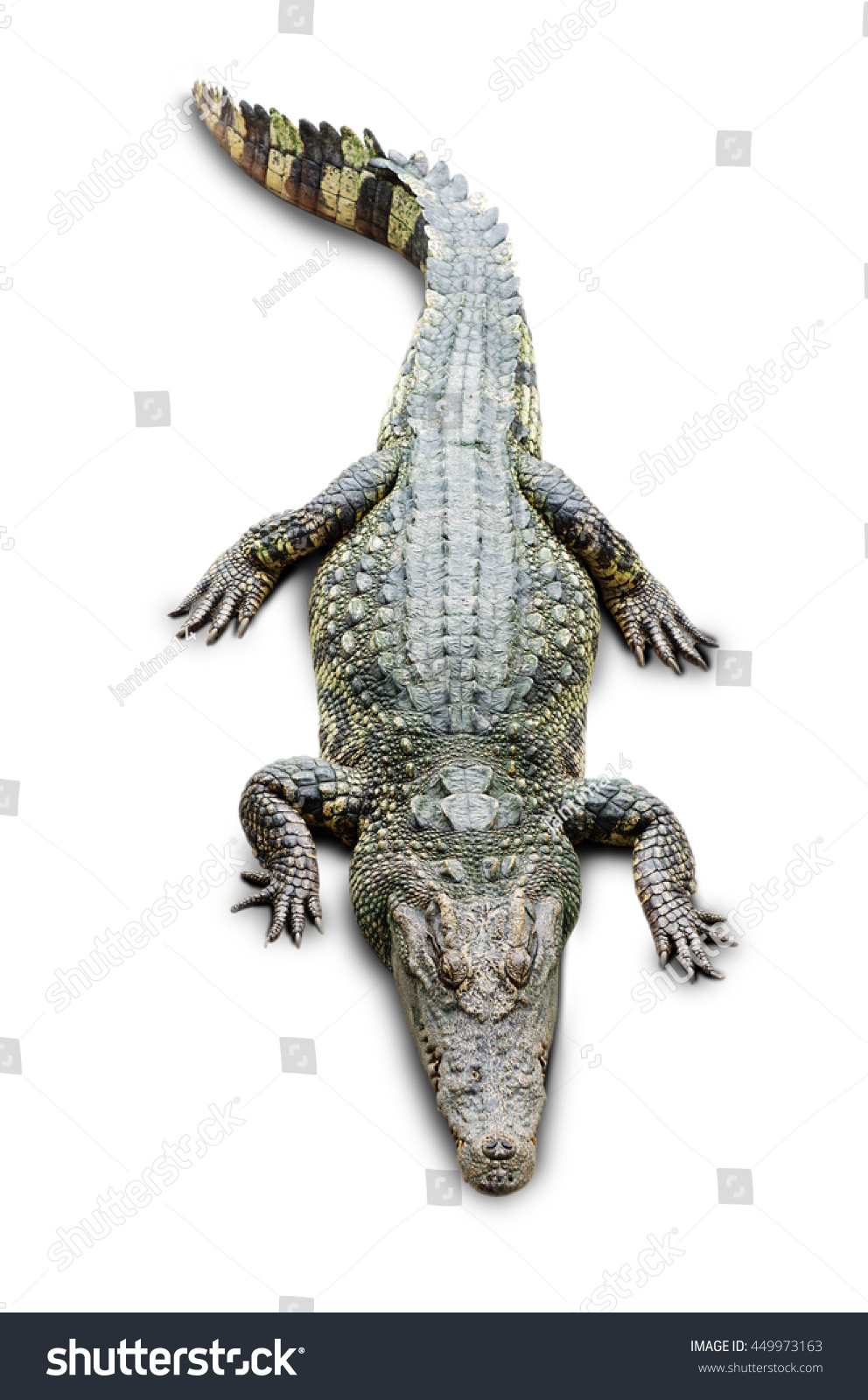crocodile on the white background