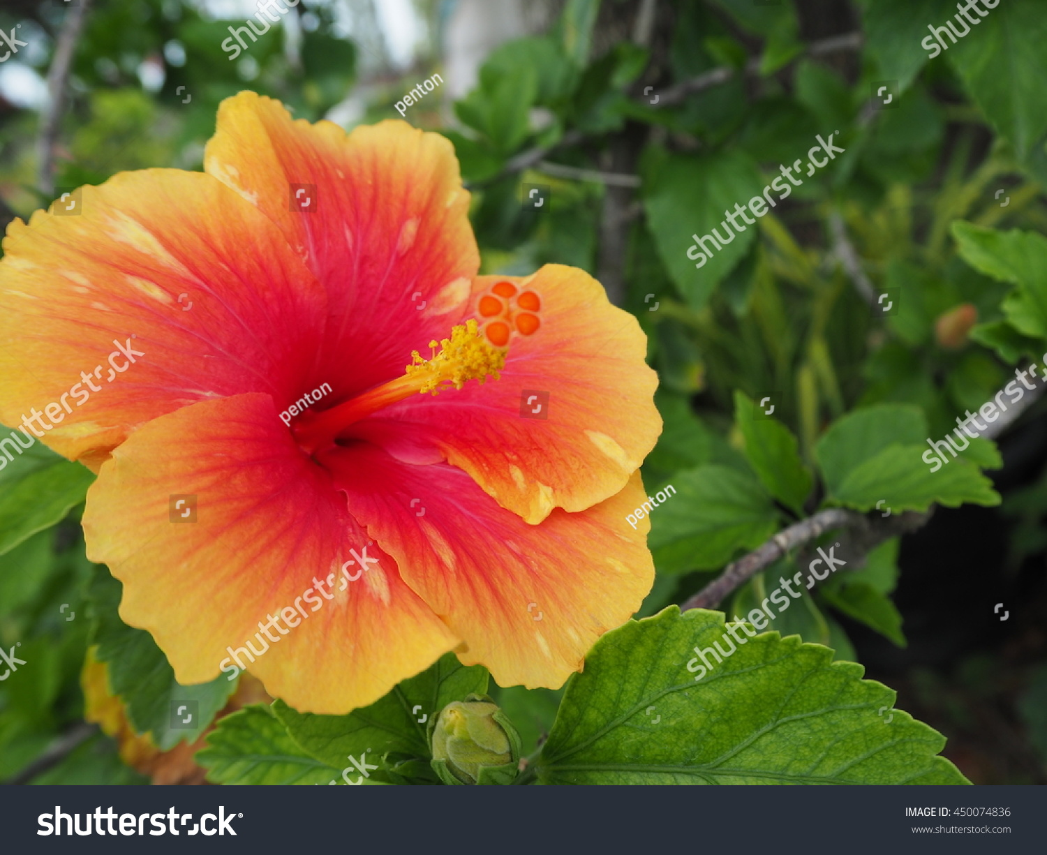 China Rose Flower Chinese Hibiscus Hibiscus Rosa Sinensis
