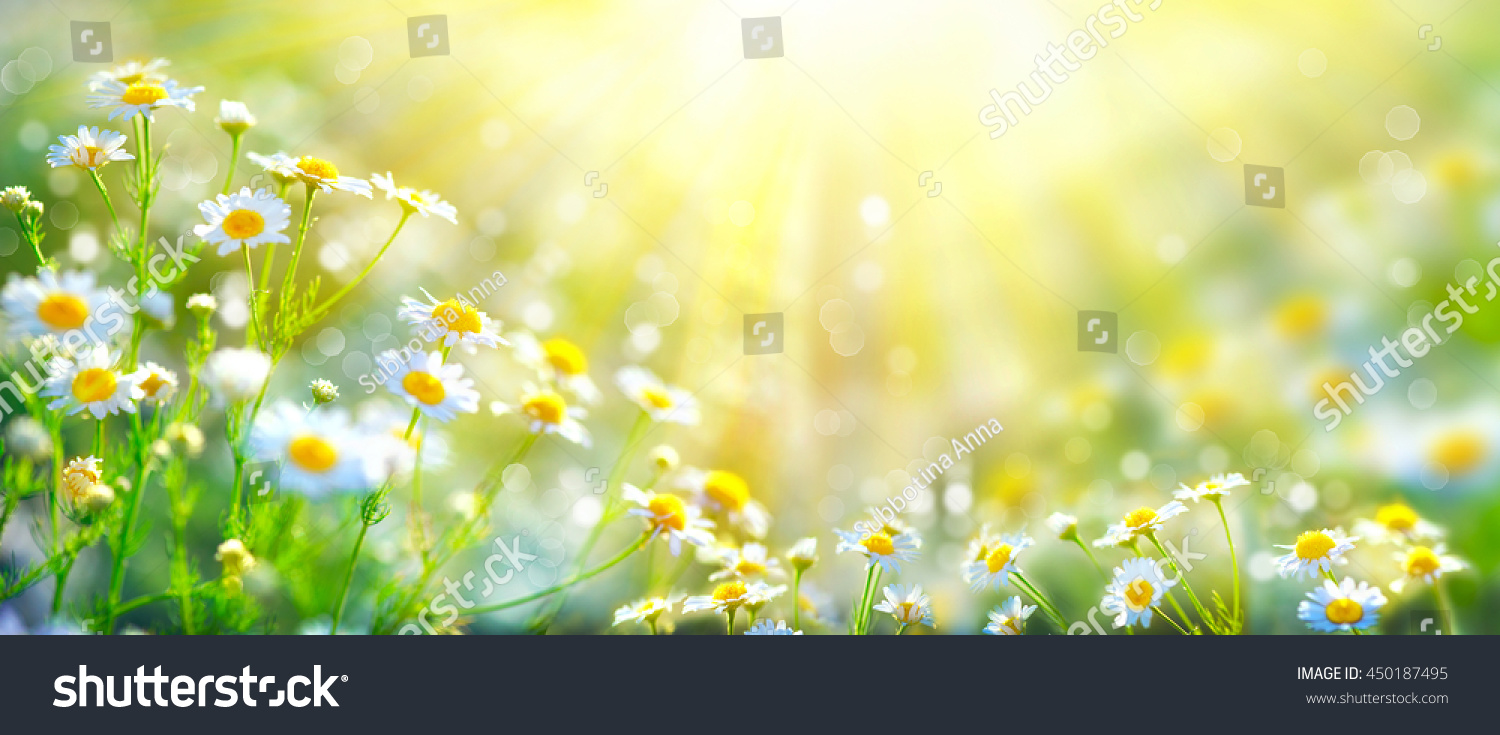 chamomile flowers field wide background sun stock photo 450187495
