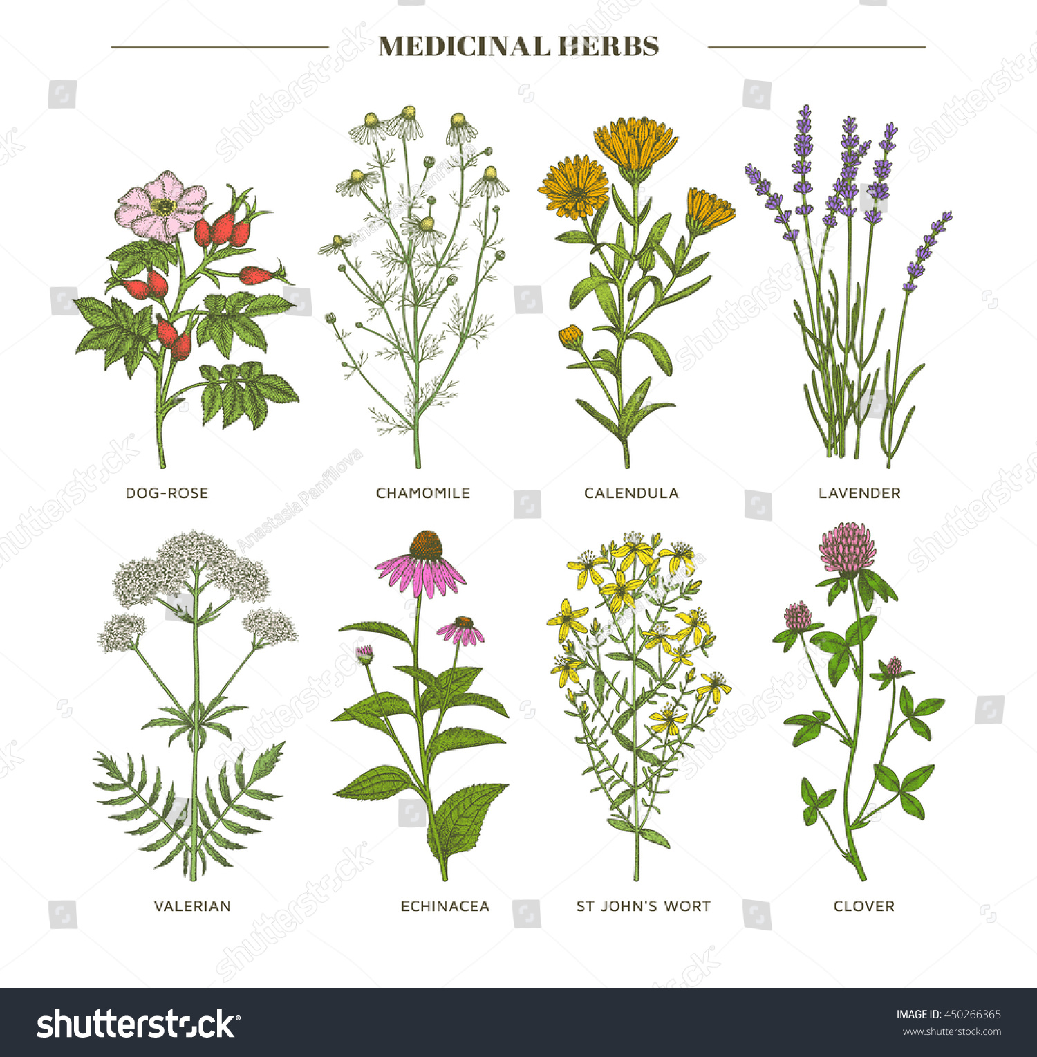 Vector hand drawn collection of medicinal cosmetics herbs St John's Wort echinacea lavender valerian chamomile calendula dog-rose clover plants