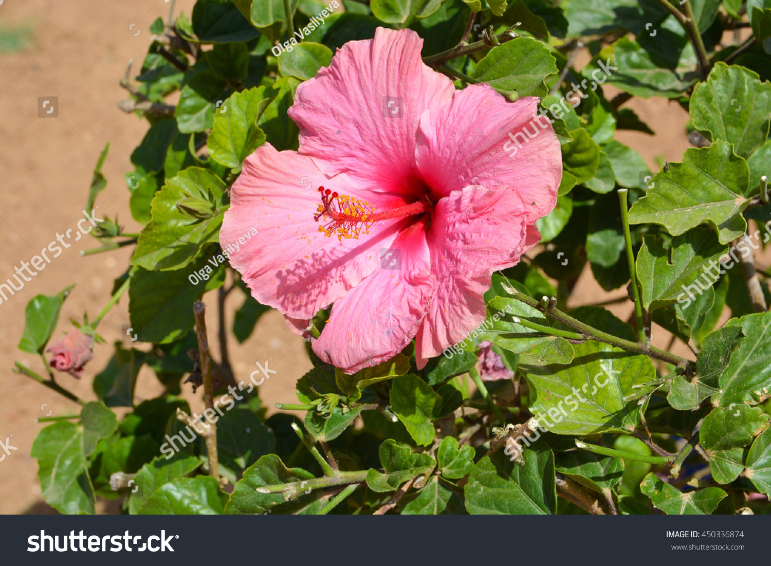 Large pink hibiscus flowers stock photo royalty free 450336874 large pink hibiscus flowers izmirmasajfo Choice Image