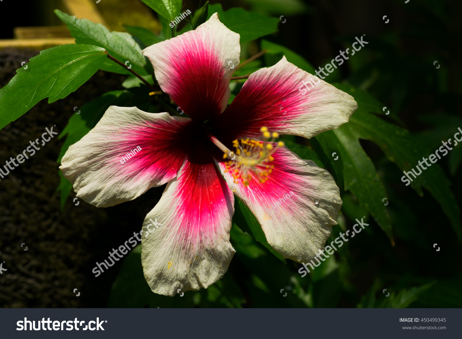 White Red Hibiscus Flower Stock Photo 450499345 - Shutterstock