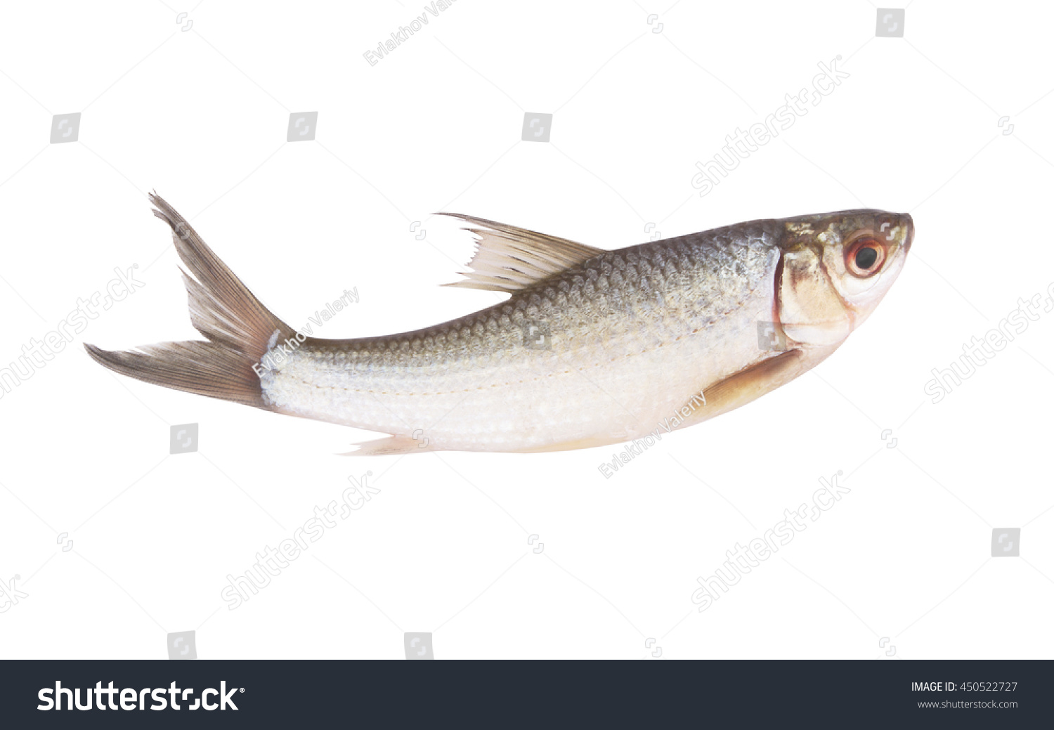 Raw fish isolated on white background stock photo for Pictures of white fish