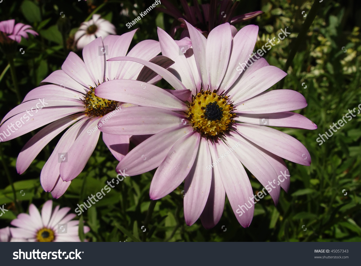 Two Daisy Family Asteraceae Flowers Close Stock Photo Edit Now