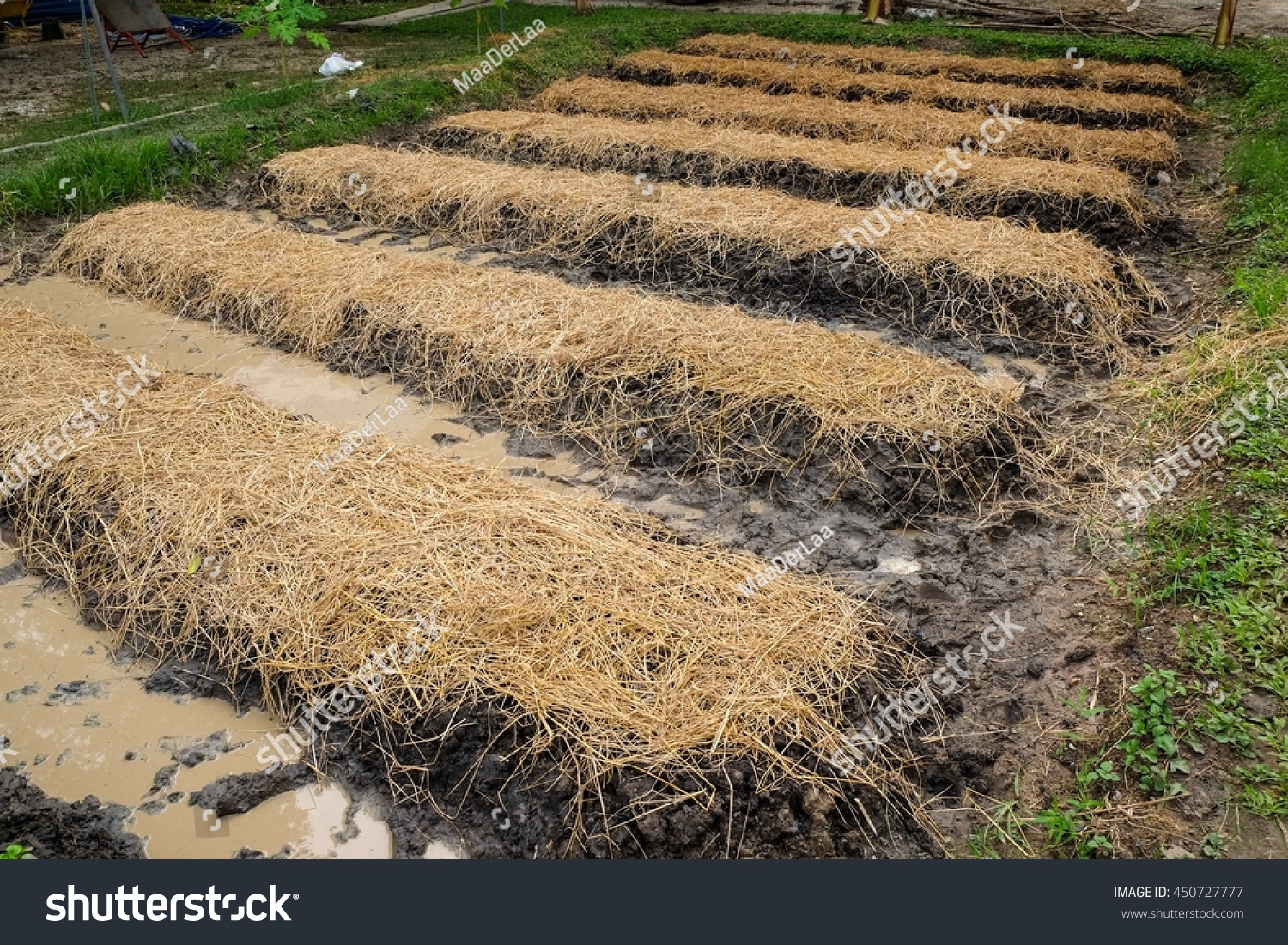 Vegetable Garden Rice Straw Wet Brown Stock Photo (Royalty Free ...