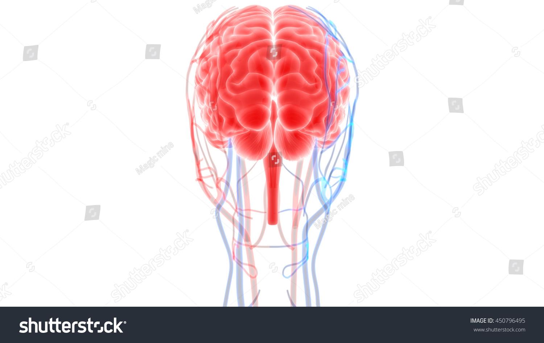 Human Brain Nerves Veins Arteries Anatomy Stock Illustration ...