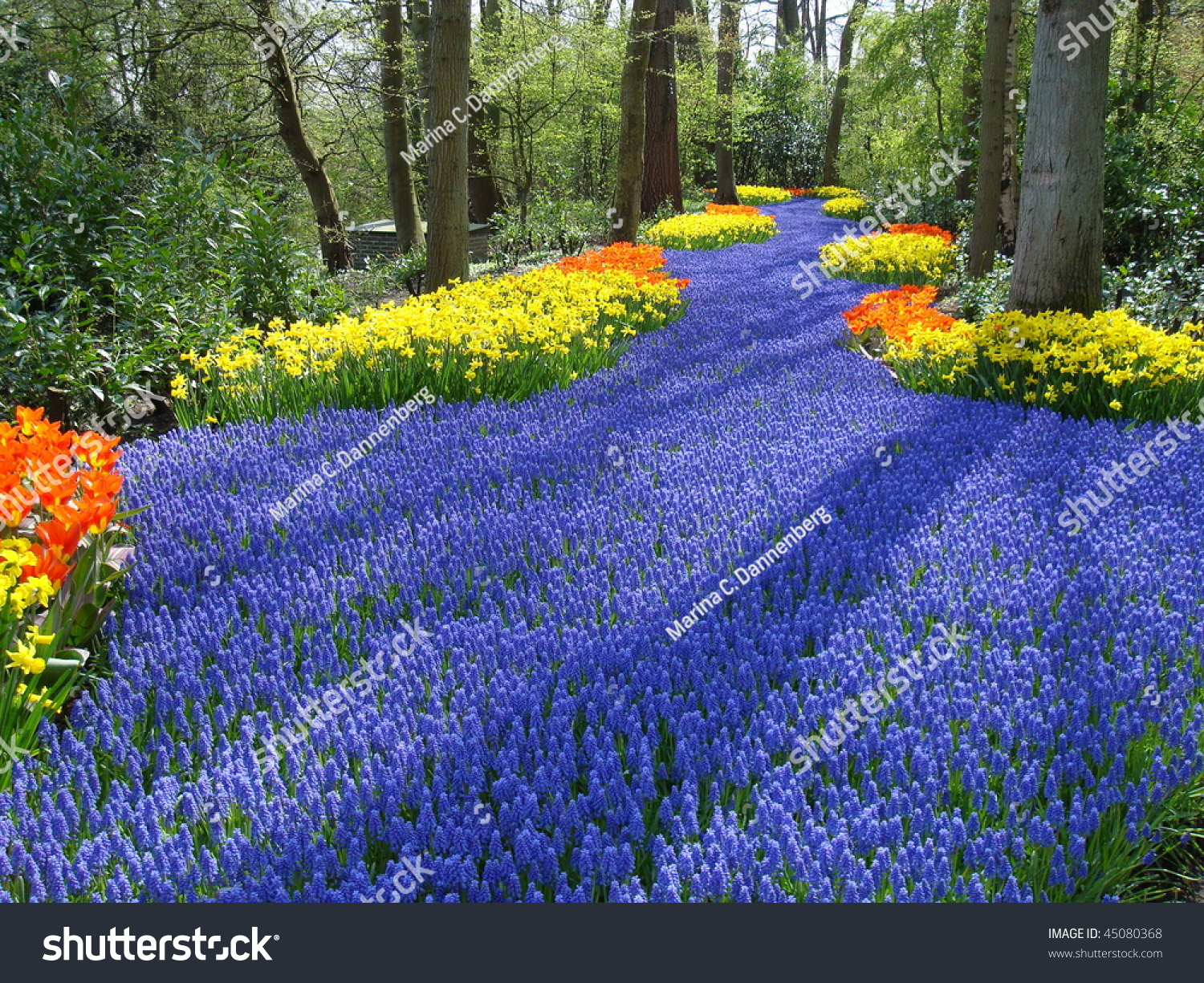 Lane colorful spring flowers dutch spring stock photo royalty free lane of colorful spring flowers in dutch spring garden keukenhof the netherlands mightylinksfo