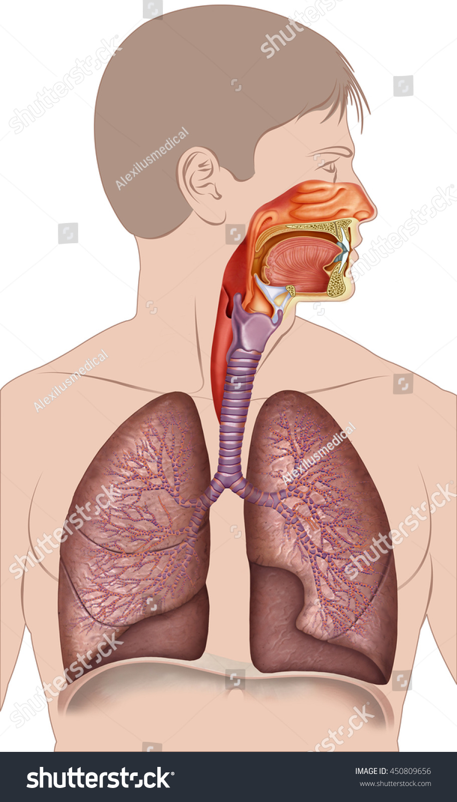 Illustration Human Respiratory System Composed Lungs Stock