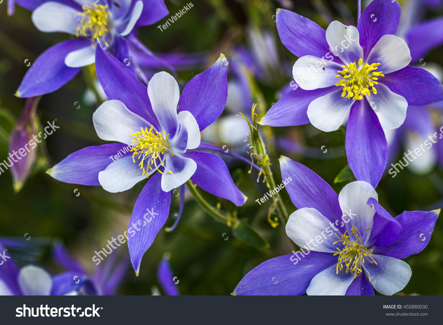Close side view blue columbine flower stock photo royalty free close up side view of blue columbine flower blooms on forest floor izmirmasajfo