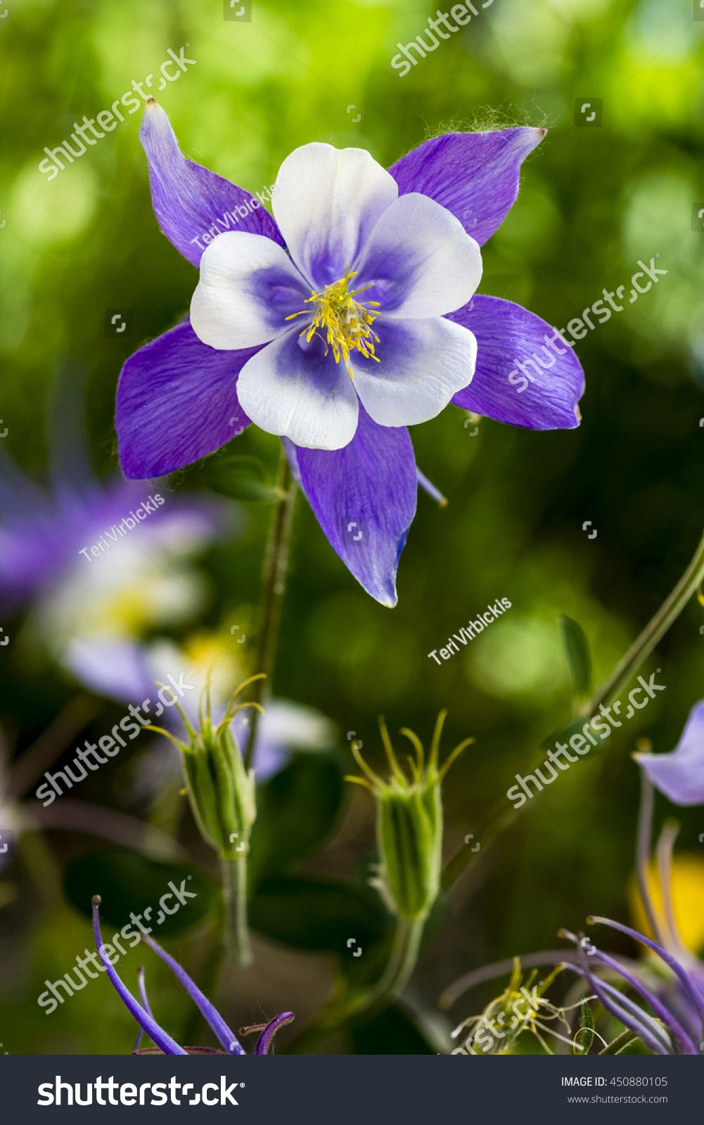 Single stem blue columbine flower bloom stock photo 450880105 single stem of blue columbine flower bloom with two unopened buds izmirmasajfo Images