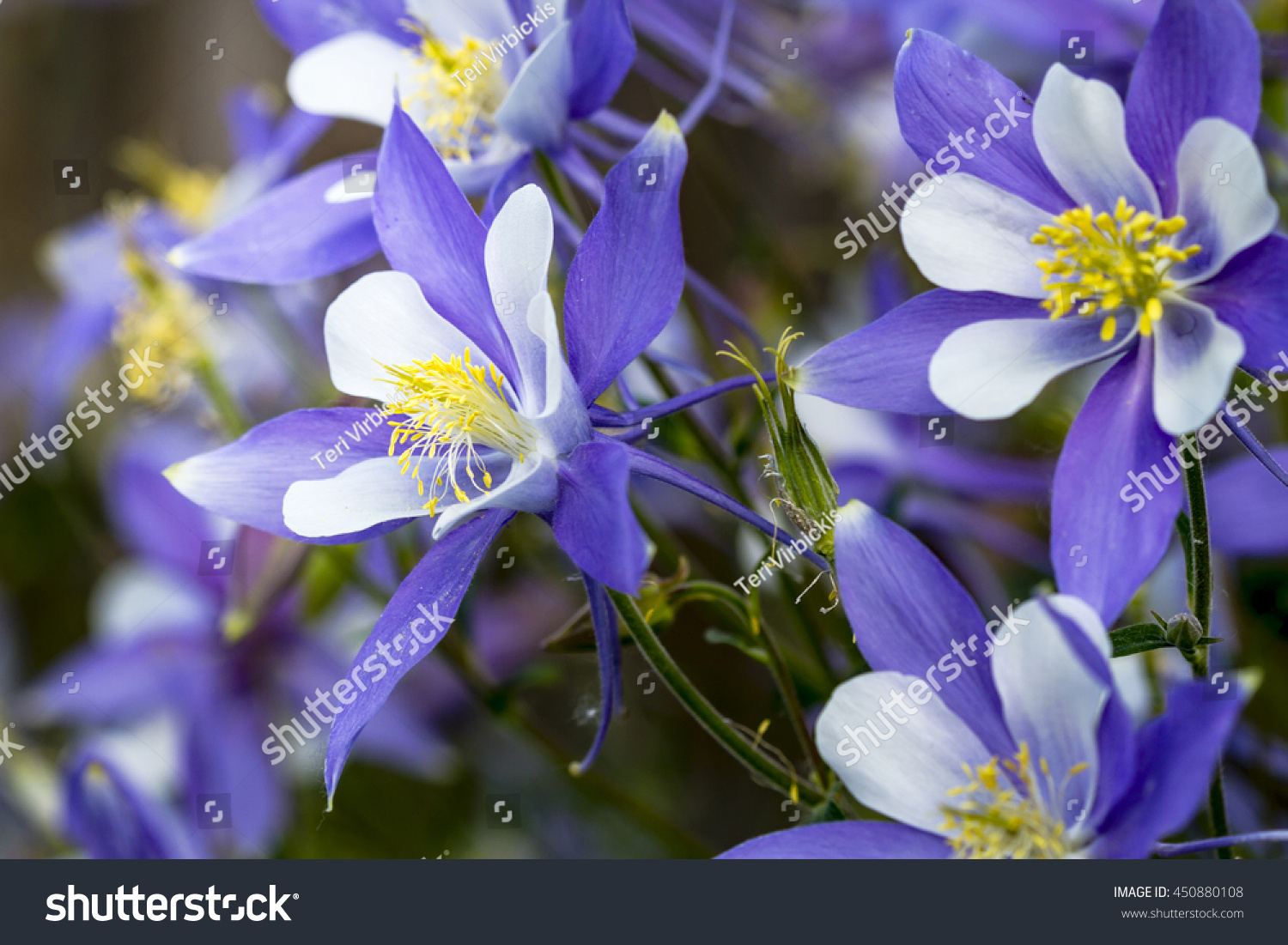 Close side view blue columbine flower stock photo image royalty close up side view of blue columbine flower blooms in forest izmirmasajfo