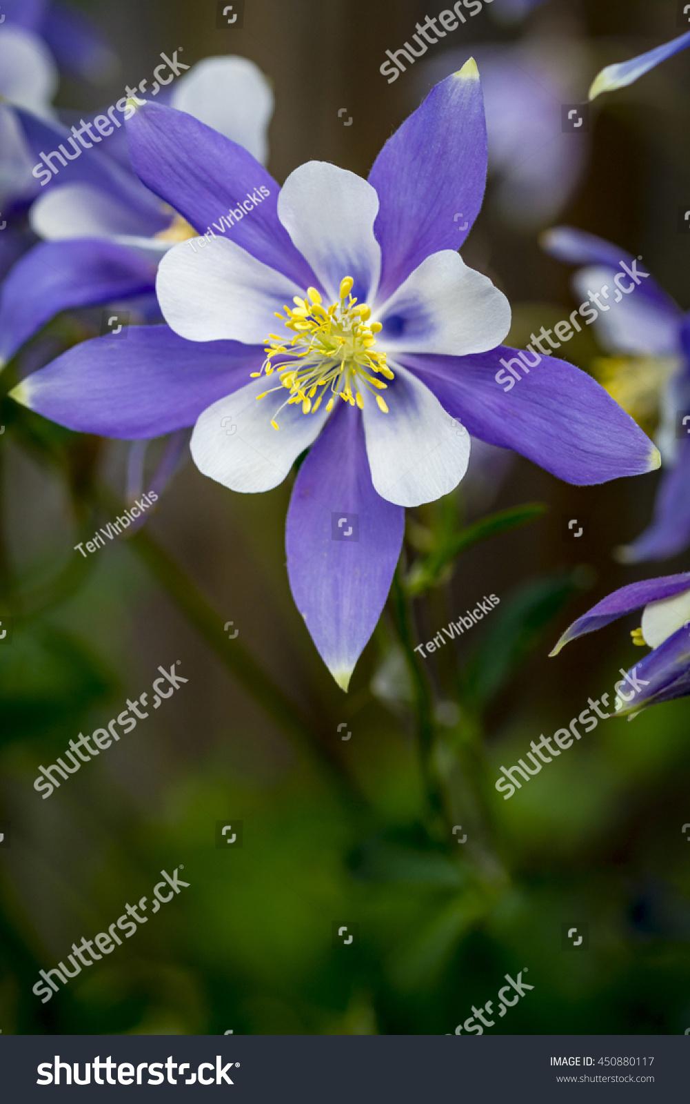 Single stem blue columbine flower bloom stock photo 100 legal single stem of blue columbine flower bloom on forest floor izmirmasajfo