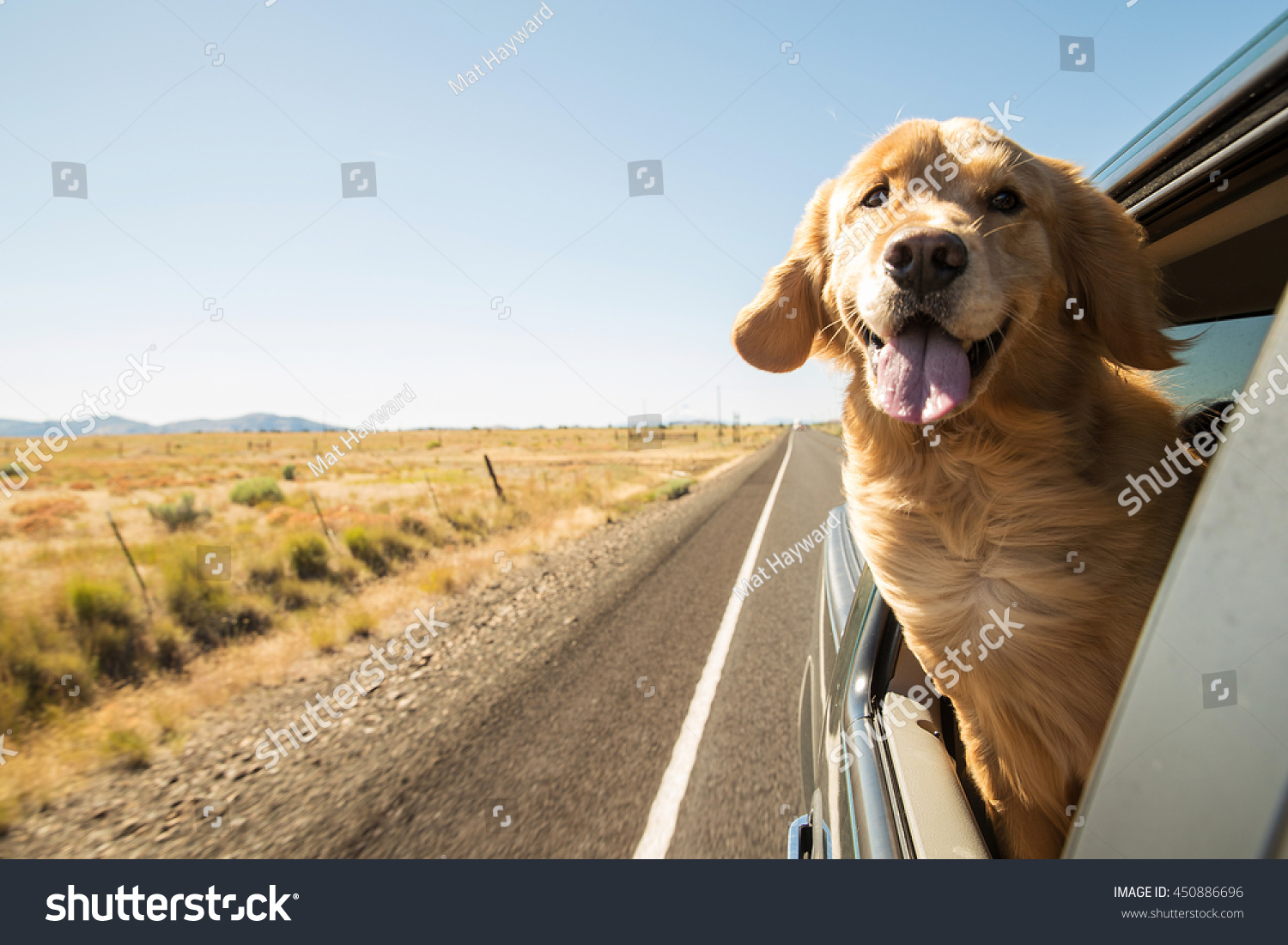 Golden Retriever Dog on a road trip #450886696