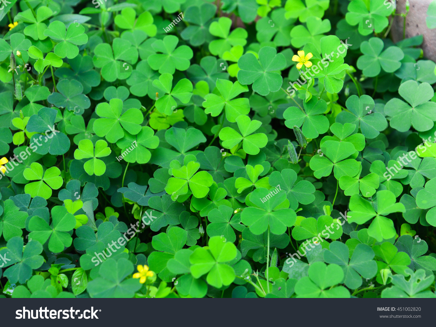 Green Clovers Leaf Little Yellow Flower Stock Photo Royalty Free