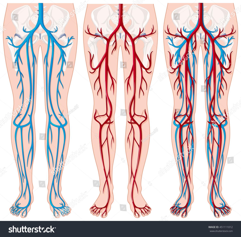 Blood Vessels Human Legs Illustration Stock Vector 451111012 ...